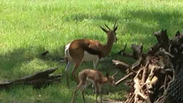 Zoo springbok
