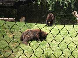 Bears at the Jackson Zoo keep cool with frozen treats.