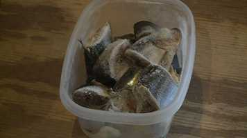 Frozen herring is a delicacy for the otters.