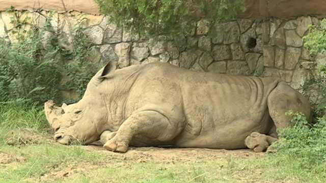 This rhino was just looking for some shade at the zoo.