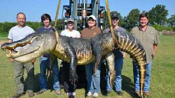 Beth Trammell's hunting party captured this 13 foot, 5/12 inch alligator after midnight Sept. 1 in Issaquena County in the Yazoo Diverson Canal north of Redwood.