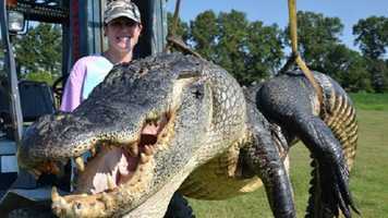 Trammel's alligator weighed 723.5 pounds and had a belly girth of 64.5 inches and a tail girth of 43 inches. It broke the previous 2012 weight record of 697.5 pounds, and held that record until an hour later when Bockman's party took the weight record with their 727 pound alligator.