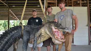 The alligator's belly girth measured 67 inches and its tail measured 4.5 inches in girth.