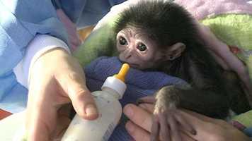 The Jackson Zoo has a new family member, Jari, a baby gibbon.