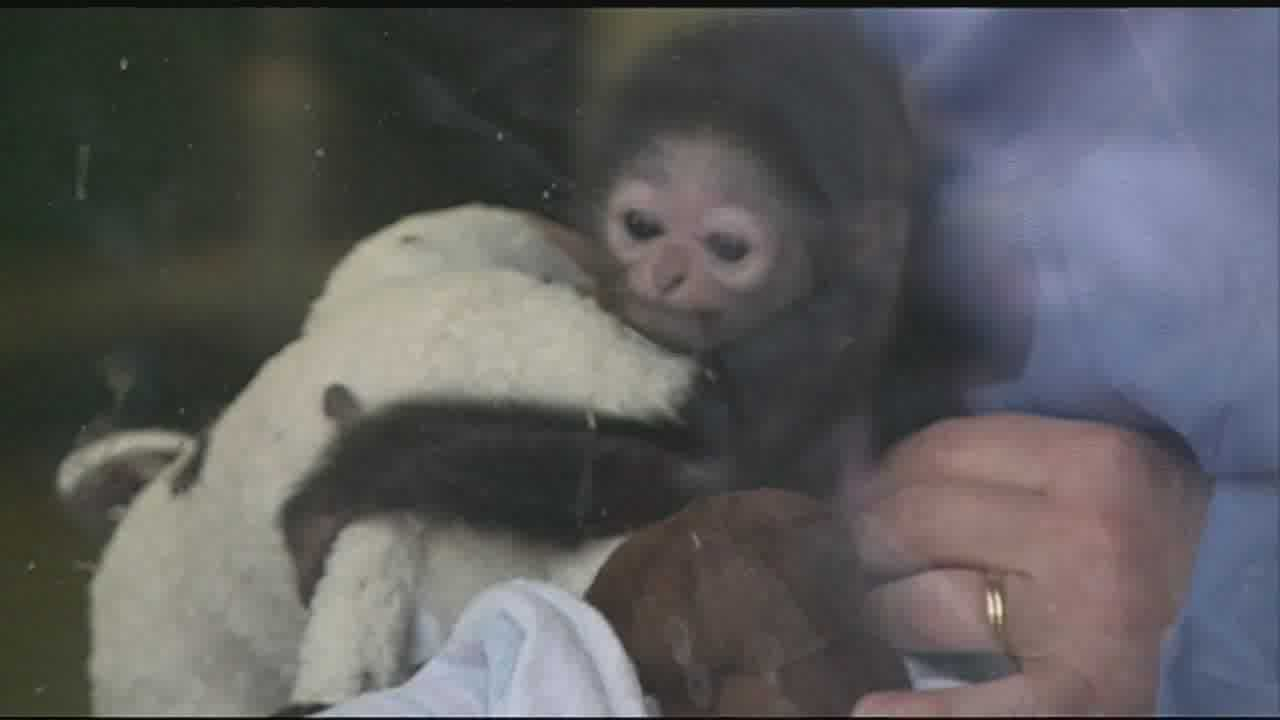 Ape baby shower at the Jackson Zoo