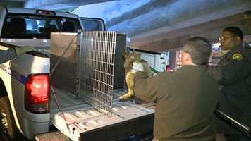 The coyote will be relocated, wildlife officials say.