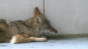 Wildlife officials say the coyote likely wouldn't hurt anyone.
