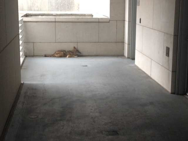 A coyote was spotted on the fourth level of the Woolfolk parking garage on March 17, 2014.