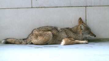 The coyote was about a year old and had apparently wandered into the garage.