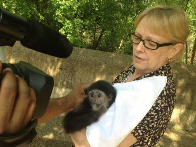 The baby gibbon has learned to suck her thumb.