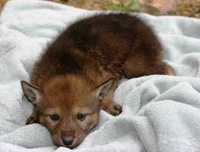 The Jackson Zoo recently welcomed some red wolf pups into the world.