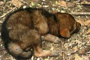 The litter of seven red wolf pups were born March 30.