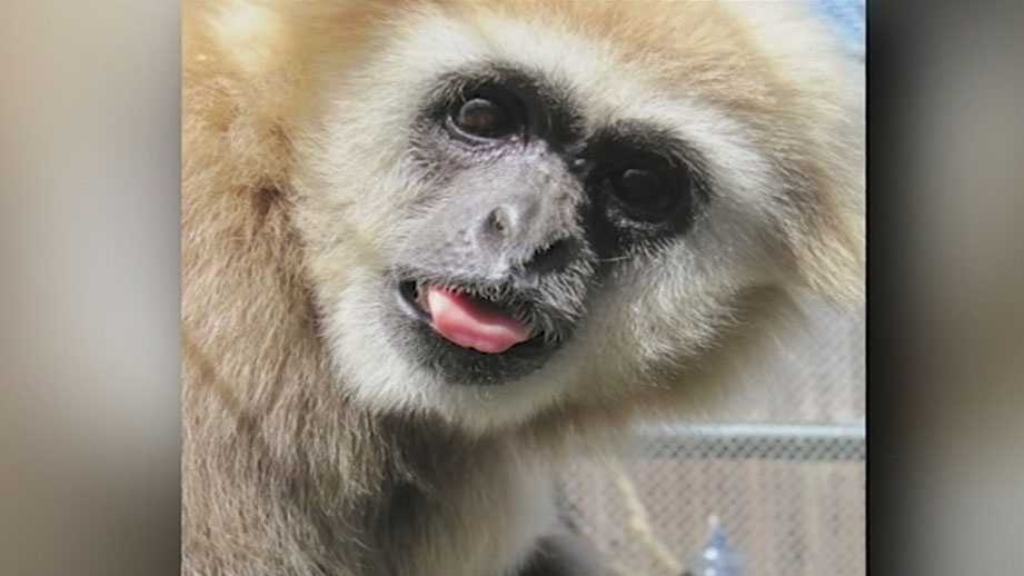 Cookie Man, a white-handed gibbon, died of heart disease at the Jackson Zoo.