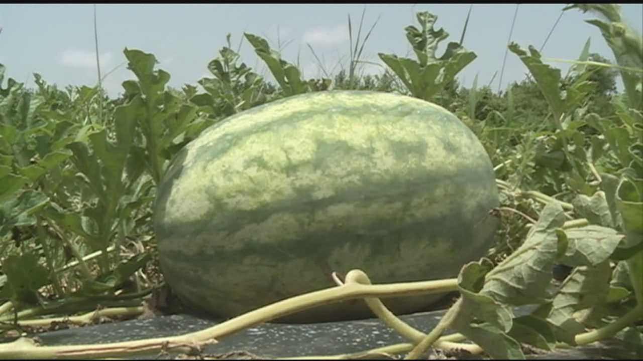 Just days before 4th of July -- a possible delay on part of Mississippi's watermelon crop
