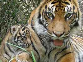 Click here to choose your favorite tiger cub name.