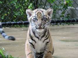 The Jackson Zoo wants residents to help name a Sumatran tiger cub.