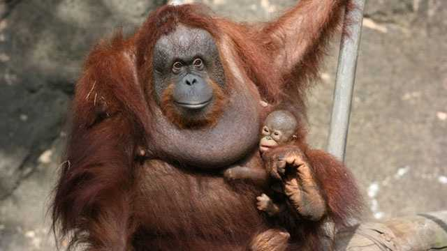 Sabah and baby Kayu at the Jackson Zoo.