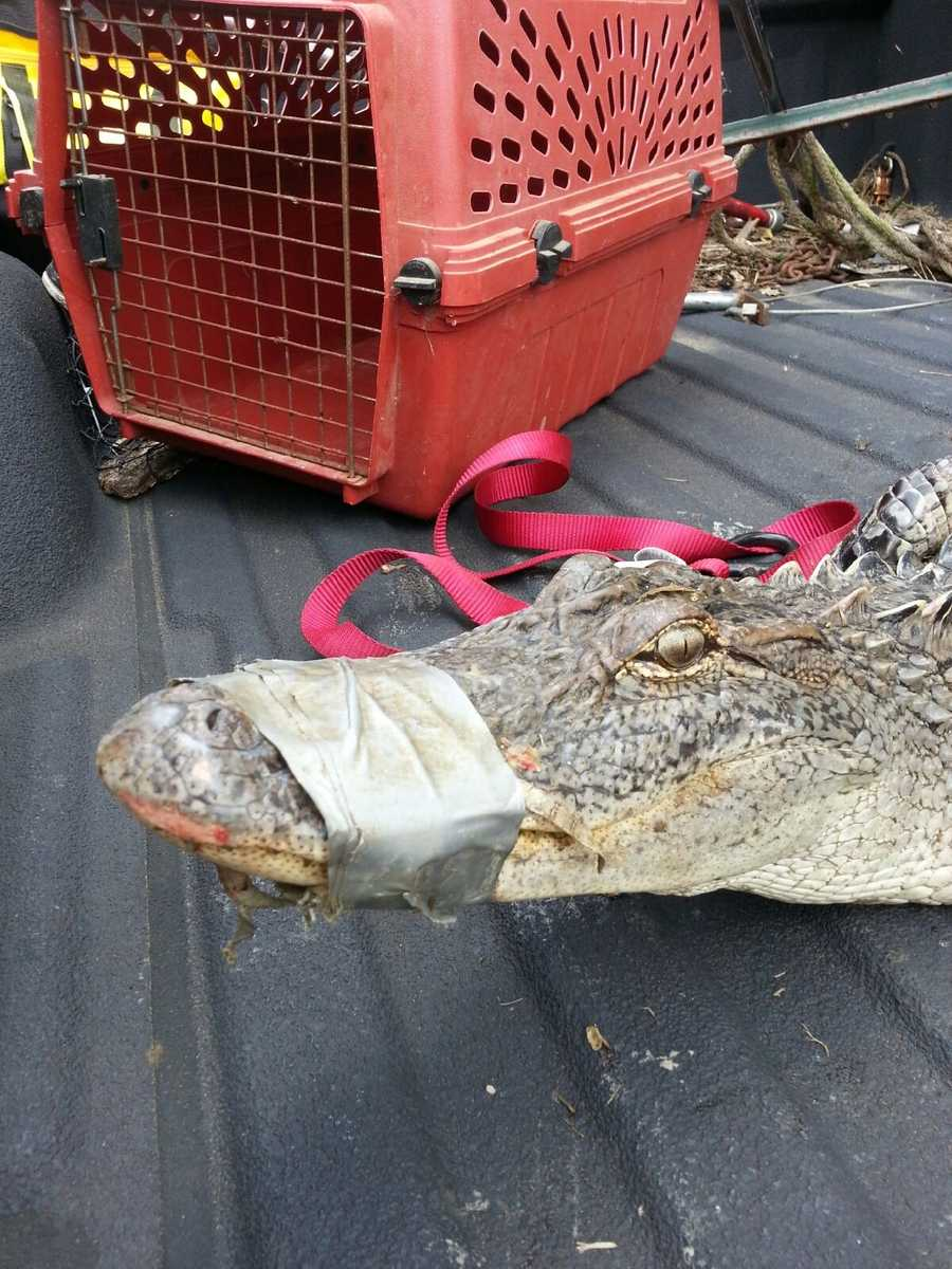 The alligator's snout was taped when Norton captured it. She said it could have starved to death.