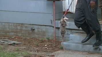 Animal control officers captured the opossum and took it out of the house.