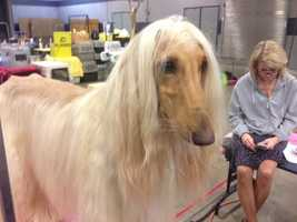 The dog shows are hosted by the Greenville Kennel Club.