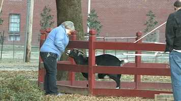 The day after the fire, an Ag Museum employee checks on the goats.