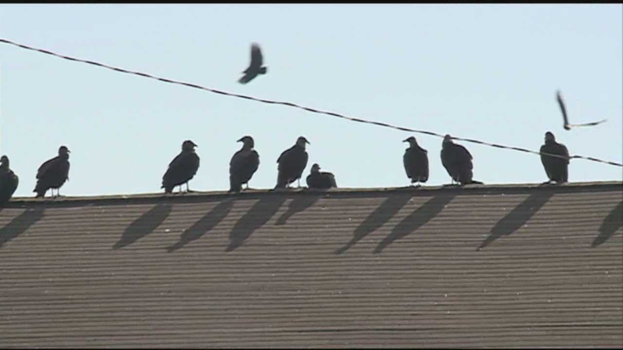 Buzzards have been hanging-out at the roof of a Flowood- apartment-complex.
