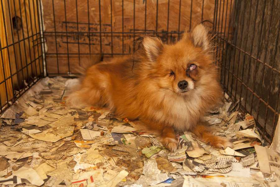 Dogs, including Chihuahuas, Yorkshire terriers and Pomeranians, were found living in filthy, deplorable conditions.
