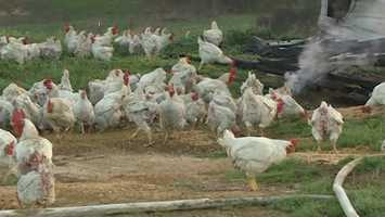 Only about 1,000 of 24,000 chickens survived a fire in Puckett Tuesday.