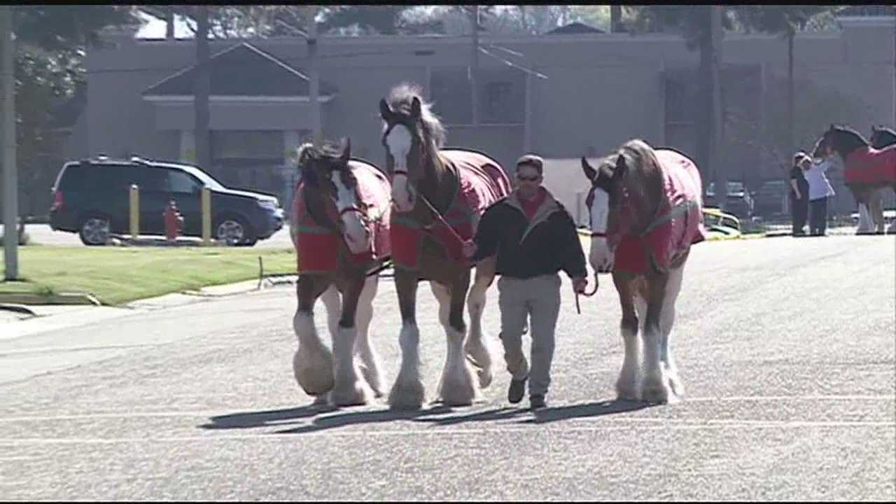 Budweiser Clydesdale are in town for the Zippity Doo Dah parade.