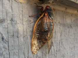 Experts say 2015 will be an extraordinary year for periodical cicadas.
