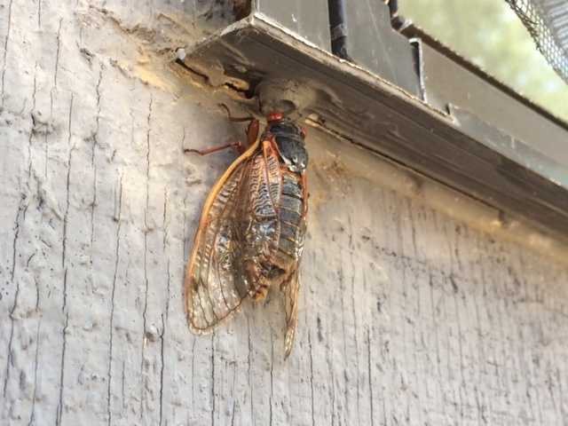 The bugs are showing up outside homes around central Mississippi.