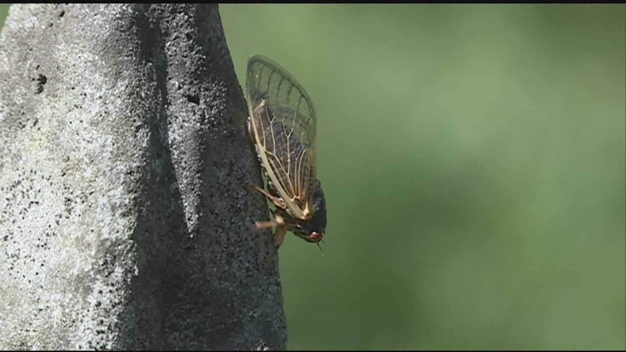 Cicadas are invading the Magnolia state.