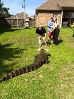 State wildlife officials and residents of the Hidden Hills subdivision near the reservoir captured a 500 lb. alligator Thursday.
