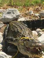 The 9-foot long alligator was pulled from a creek.