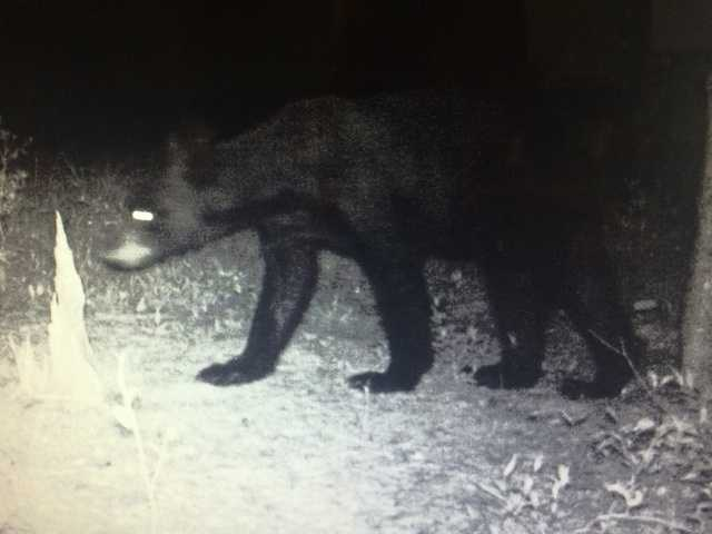 A central Mississippi resident recently captures images of a black bear.