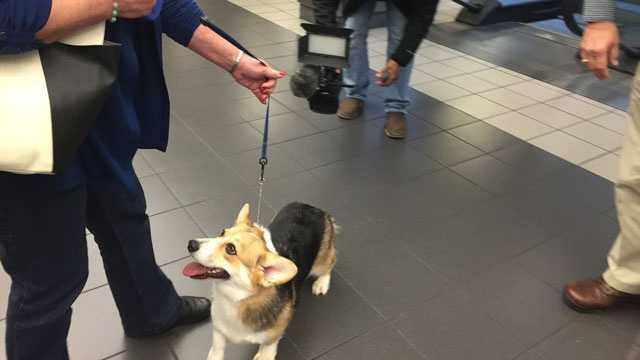 Bethany the corgi made it home to Jackson after a slight detour to Hawaii.