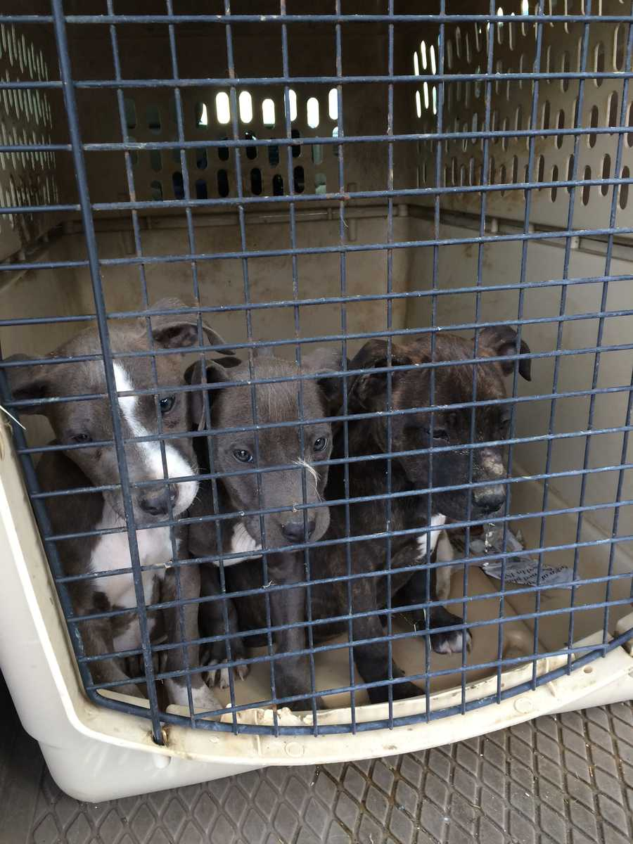 The pit bull puppies were found in a rain-soaked dog house in a muddy pen, Ewing said.