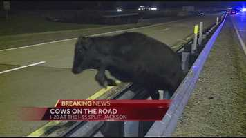 There were even reports of cows in a Jackson neighborhood.