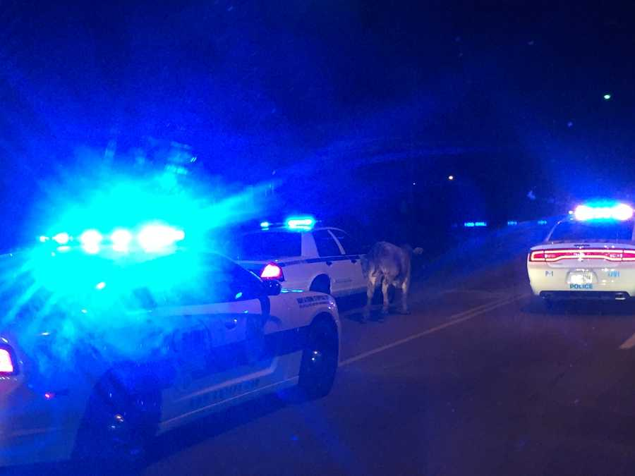 Jackson police officers worked to wrangle the cow.