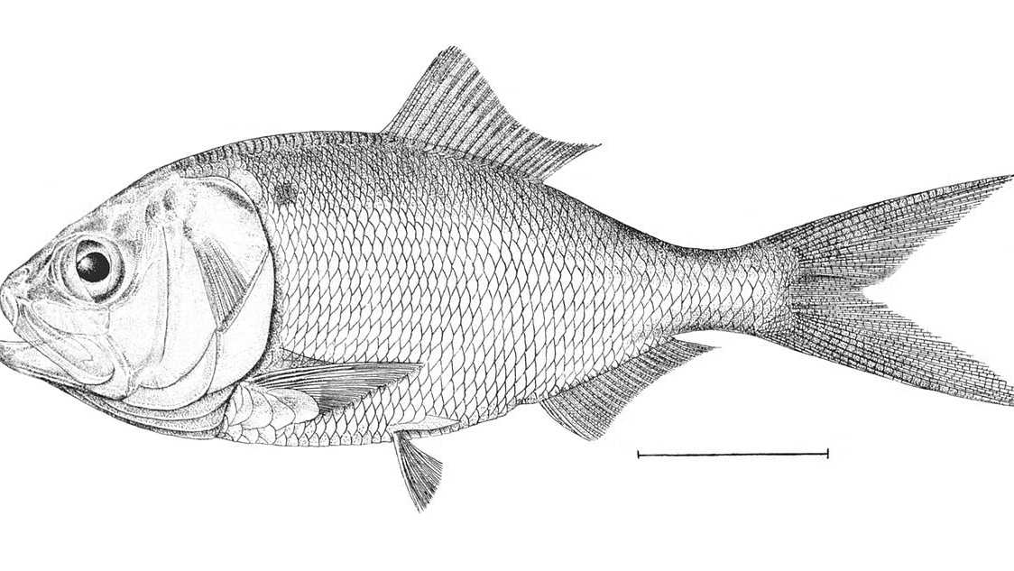 By H. L. Todd - Goode G. B. The Fisheries and Fishery Industries of the United States. Section I. Natural History of Usefull Aquatic Animals. – Washington: Government Printing Office, 1884. Plate 206. Reprint, Public Domain, https://commons.wikimedia.org/w/index.php?curid=465493