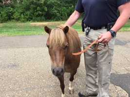 The owner was quickly found and came to pick up the pony.