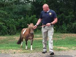 Madison County sheriff's deputies wrangled the pony.
