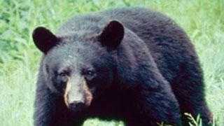 Mississippi is home to two subspecies of black bears -- the American black bear and the Louisiana black bear.