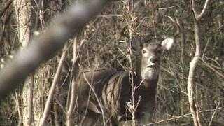 Deer In Woods - 18008831