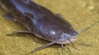 Bullhead Catfish, Yellow bullhead (Amerius natalis) or Brown bullhead (Americus nebulosus): 4 lb. 4 oz. -- caught by Eddie Lasorda of Exton in 1983 at Marsh Creek.