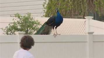 The birds are a permanent fixture in the Bynum Overlook Community in Abingdon, a compact residential neighborhood.
