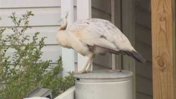 """""""Harford County law says I can put anything I want in my yard but a chicken,"""" McNair said."""