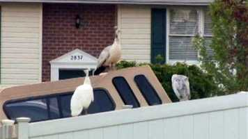 Of course, some neighbors aren't too pleased -- mostly because Petey is noisy, especially now since it's breeding season.