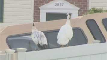 Harford County inspectors have responded to complaints about the peacocks, which county law limits to five per property.