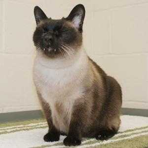 Si is a purebred chocolate point Siamese cat who's about 9 years old. Officials said he likes to follow people around and snuggle.